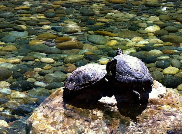 turtles in vmware pond